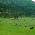 Cattle Field