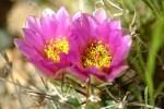 Pink Fishhook Flowers