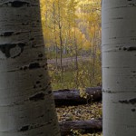 Between the Aspens