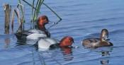Dabblin' Divers-Redheads
