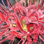 Red Spider Lily by Derek McCrea